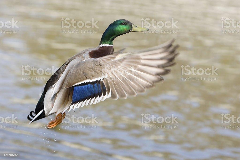 Drake In Flight stock photo