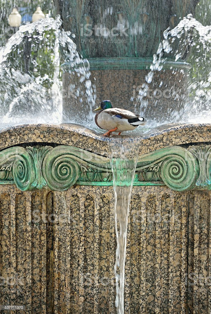 Drake in fountain among splashes and drops of water stock photo