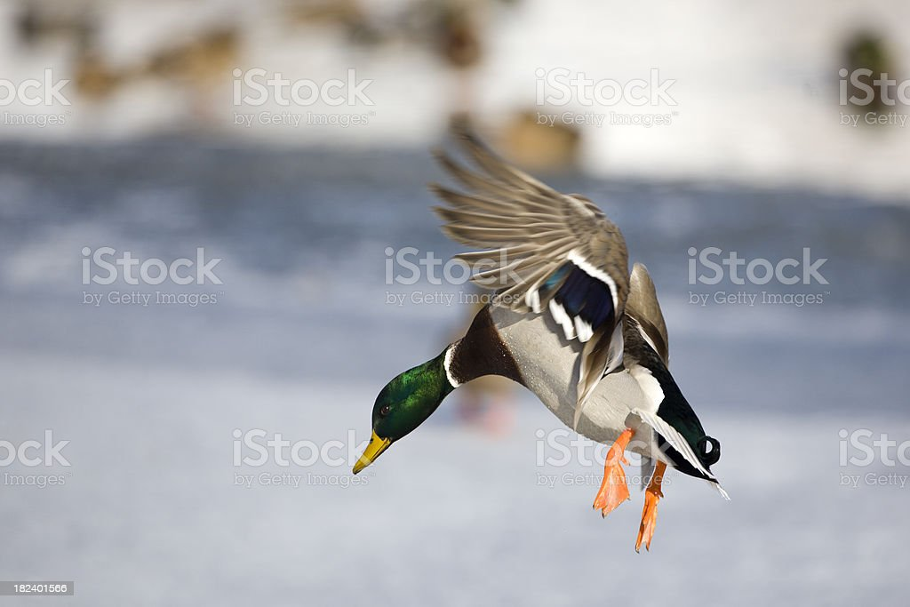 Drake Mallard in flight stock photo