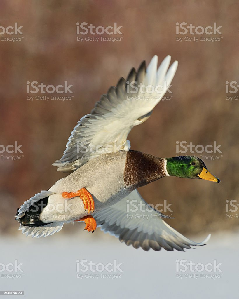 Drake Mallard stock photo