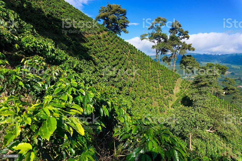 Dramatic Coffee Landscape stock photo