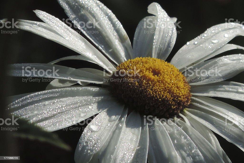 dramatic daisy stock photo