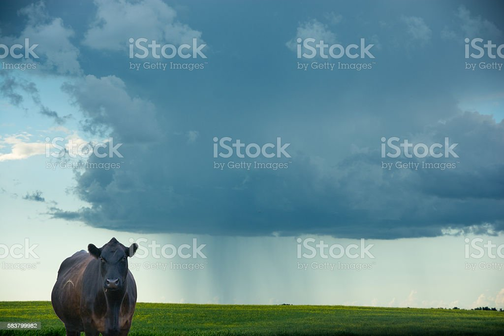 Dramatic developing  storm and surrounding clouds  with cow looking stock photo
