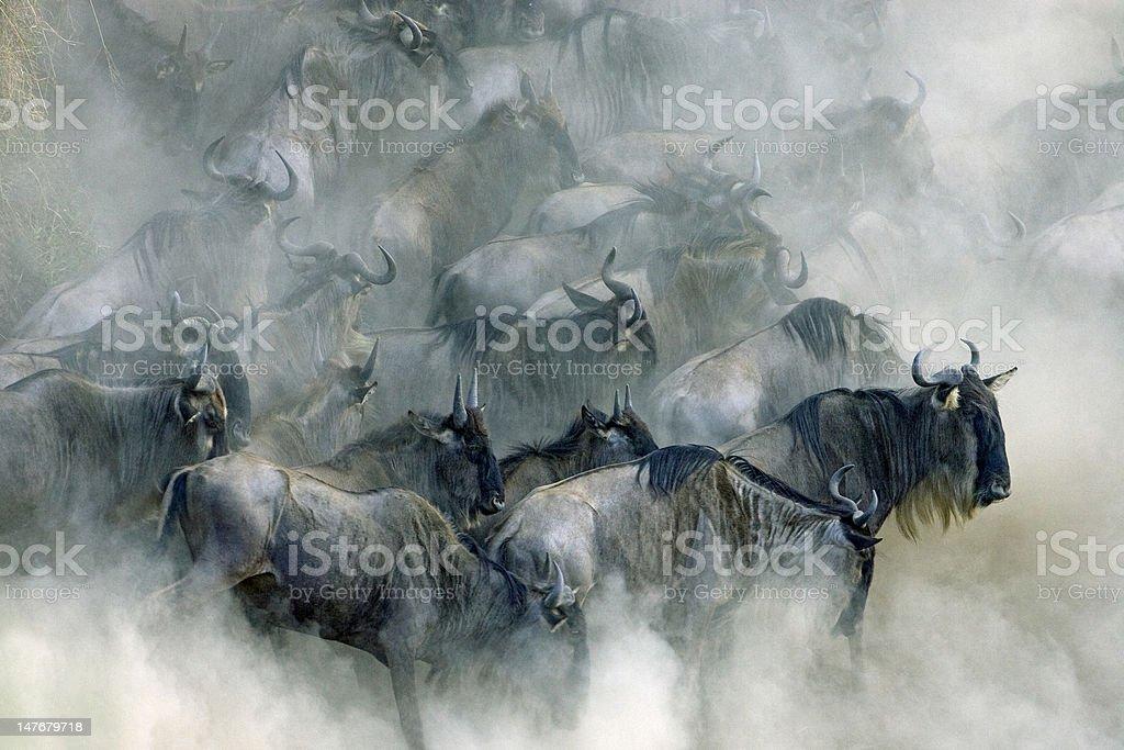 dramatic dusty wildebeest crossing of the Mara River Kenya stock photo