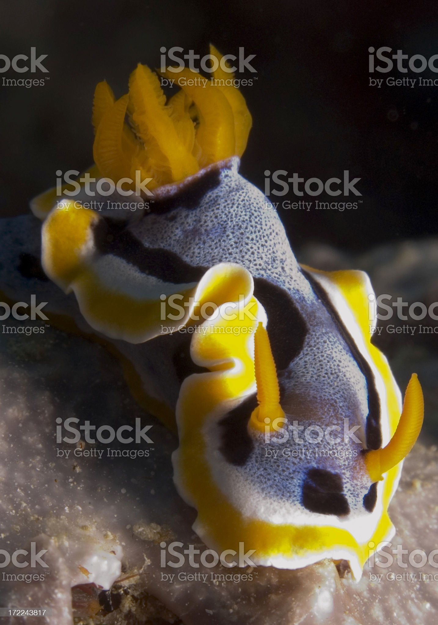 Dramatic nudibranch from Papua New Guinea royalty-free stock photo