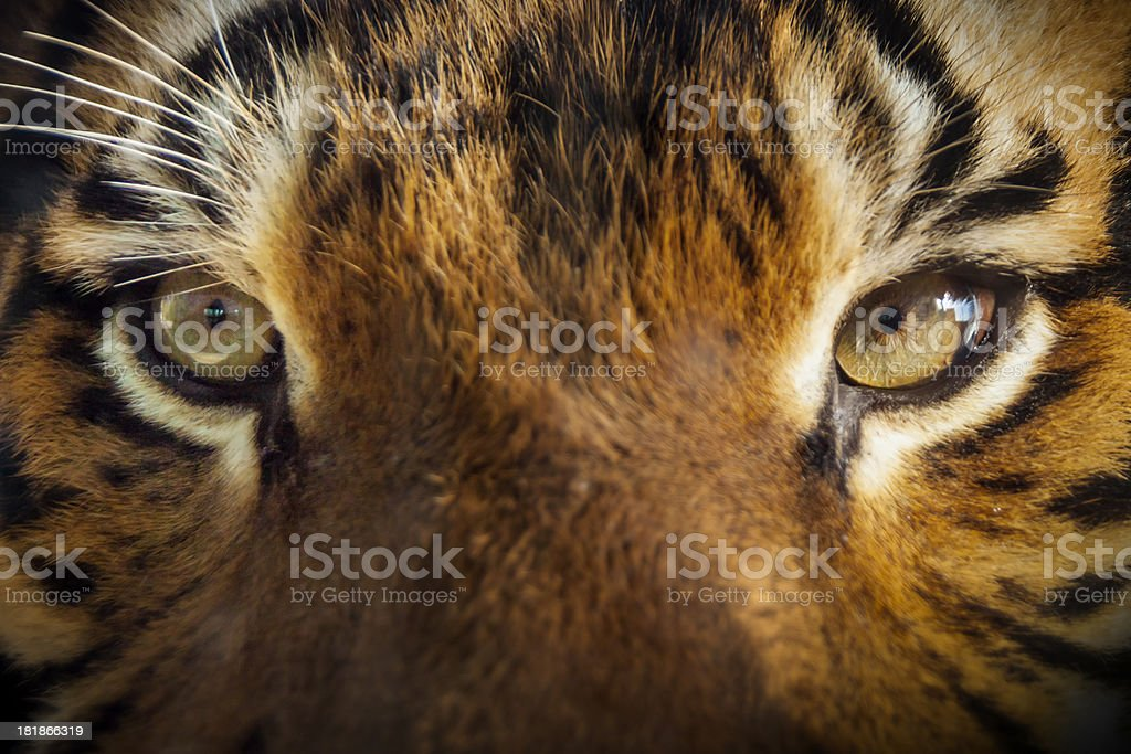 Dramatic Outdoor Close Up Photo Of Malayan Tiger Eyes stock photo