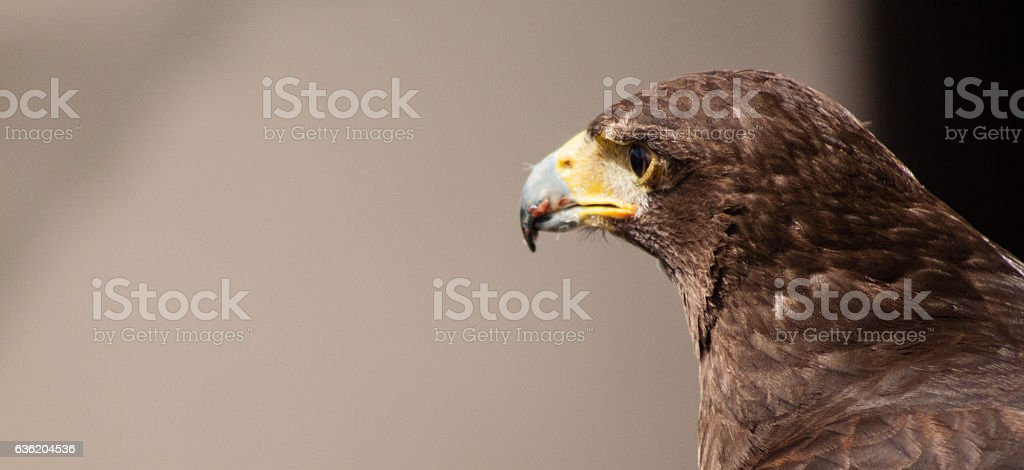 Dramatic shot of the eagle with blood on his beak stock photo
