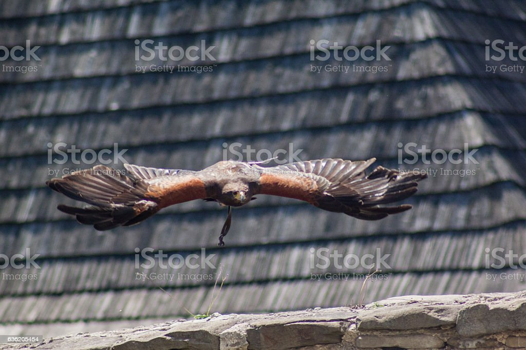 Dramatic shot of the flying eagle. stock photo