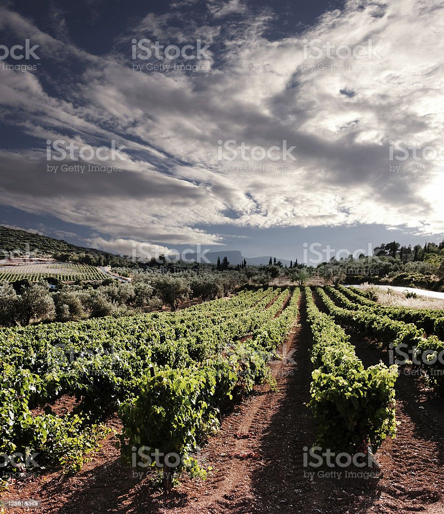 dramatic sky on rows of vines stock photo