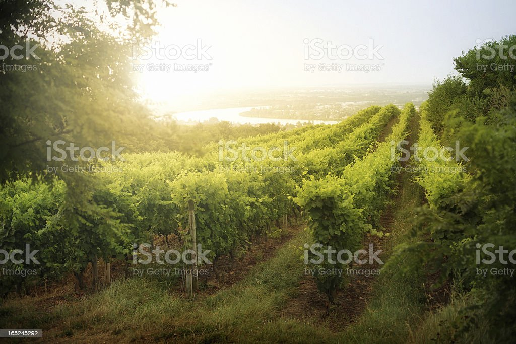 Dramatic Vineyard Sunrise in France stock photo