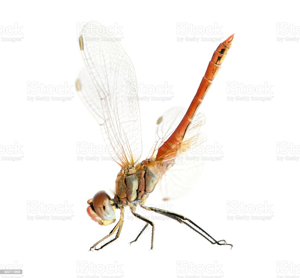 Drangonfly - Sympetrum fonscolombei stock photo