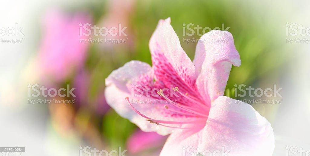 Dream azalea flowers with water drops stock photo