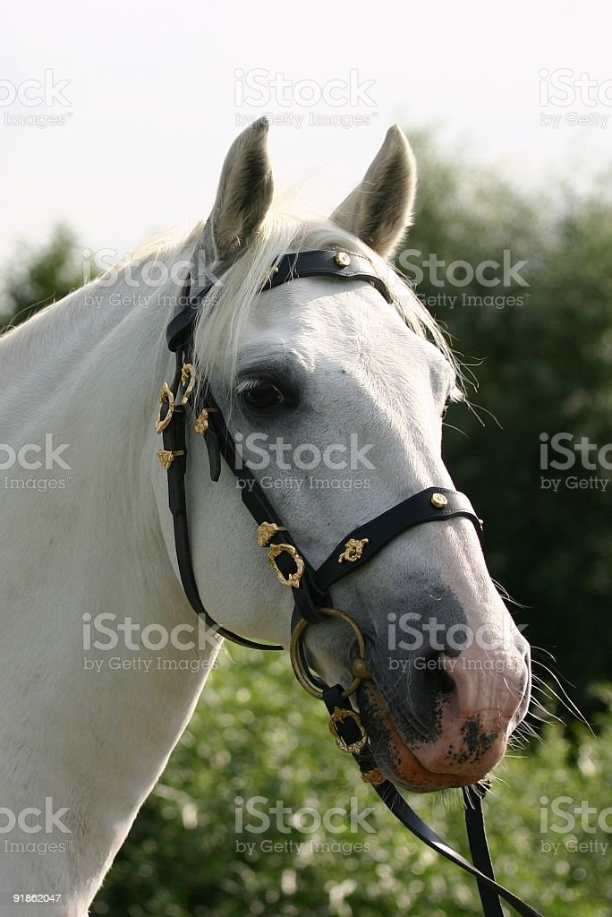 Dreamy andalusian horse stock photo