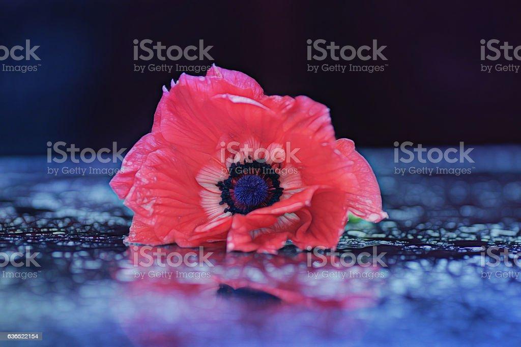 dreamy anemone flower stock photo