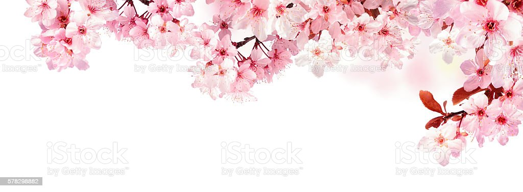 Dreamy cherry blossoms isolated on white stock photo