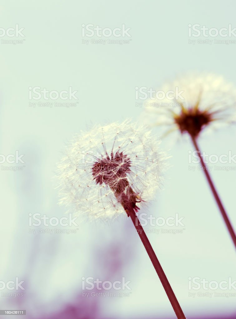 Dreamy dandelion stock photo