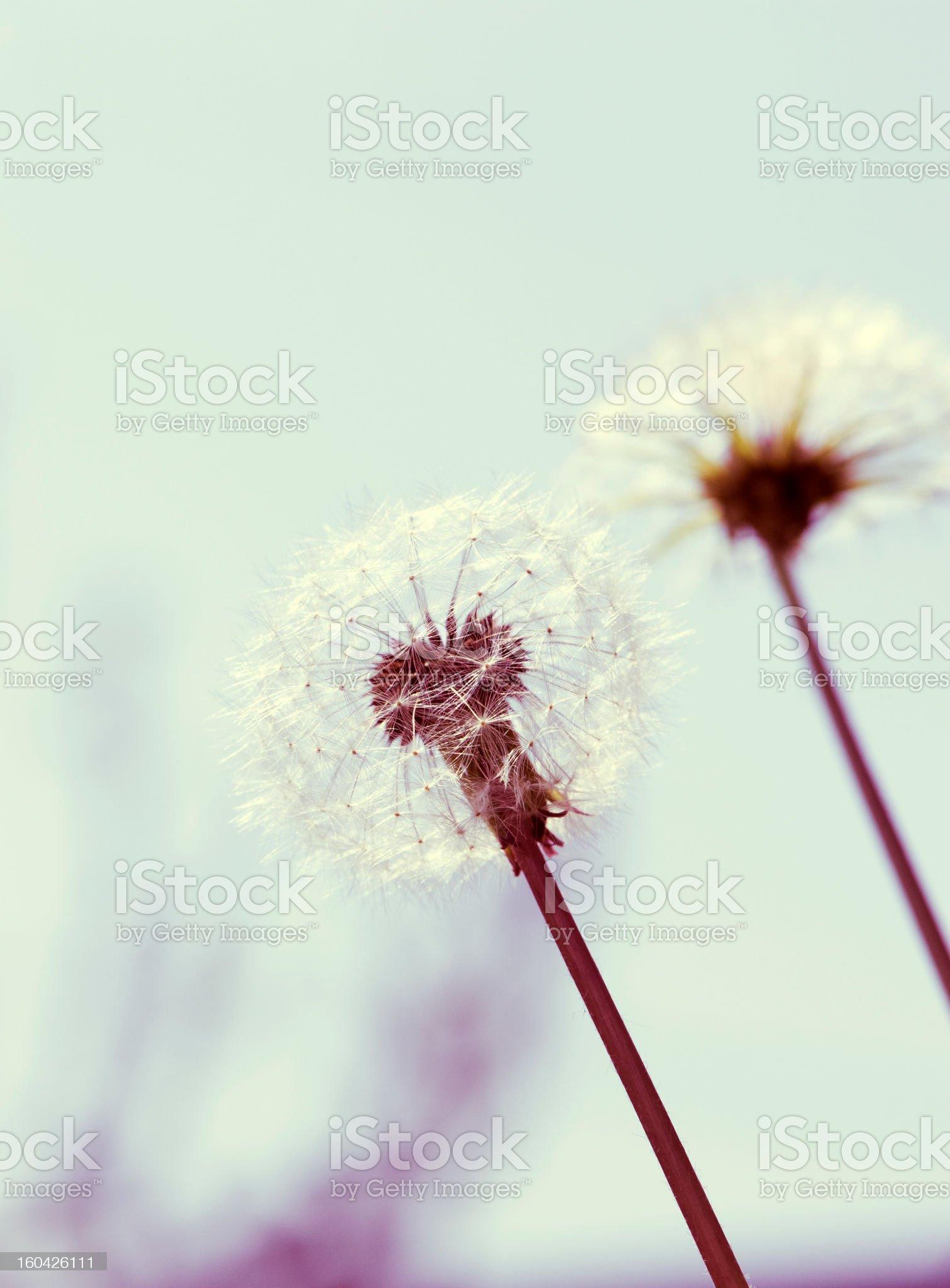 Dreamy dandelion royalty-free stock photo
