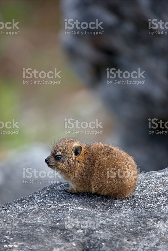 Dreamy little Dassie stock photo