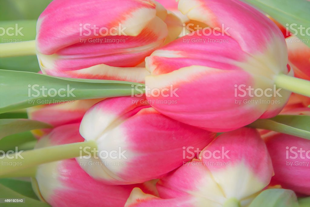 Rosa tulipanes de ensueño foto de stock libre de derechos