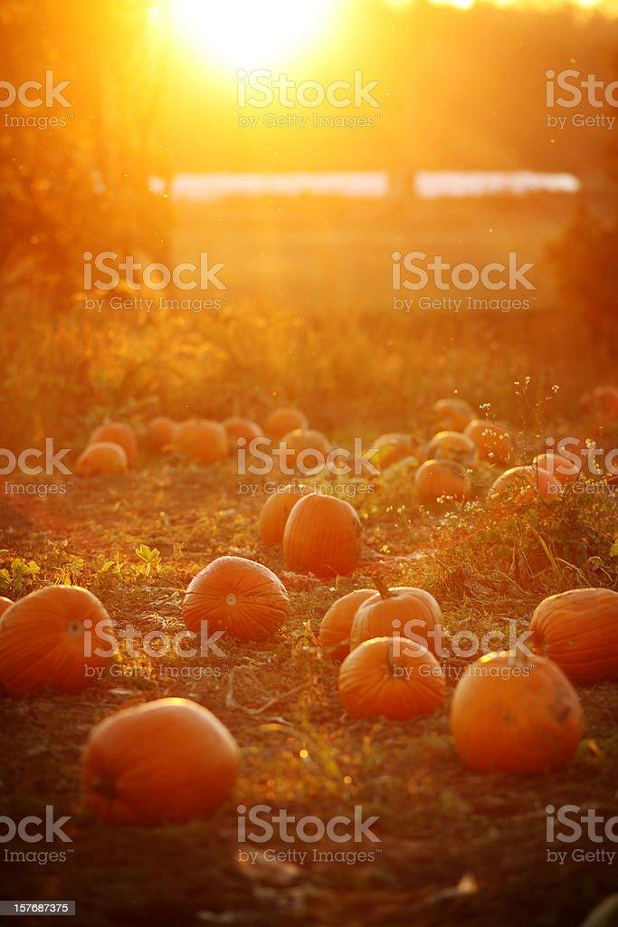 Dreamy Pumpkin Patch Sunset royalty-free stock photo