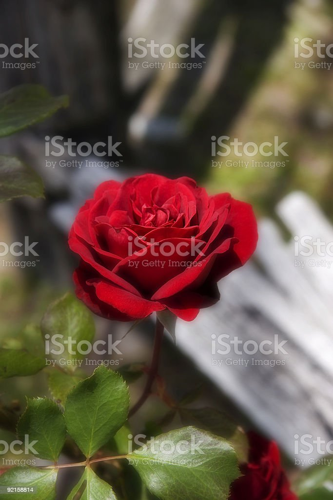 Dreamy Red Rose royalty-free stock photo