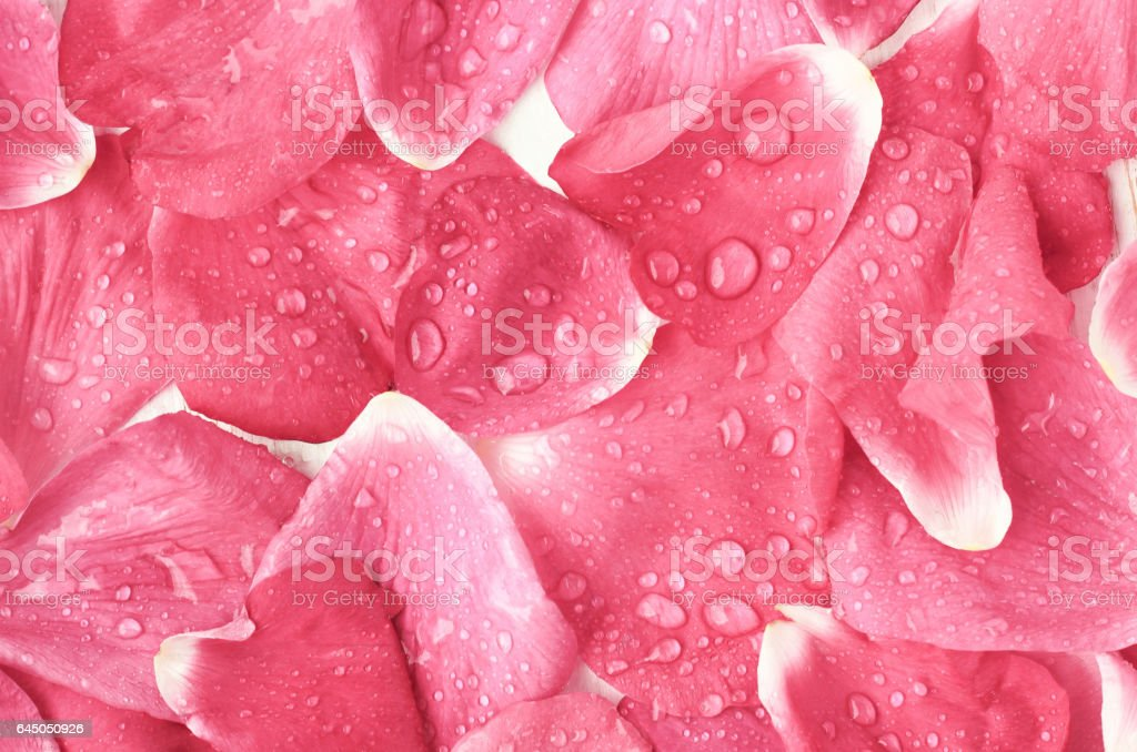 Dreamy rose petals wet with drops covered top view surface. stock photo