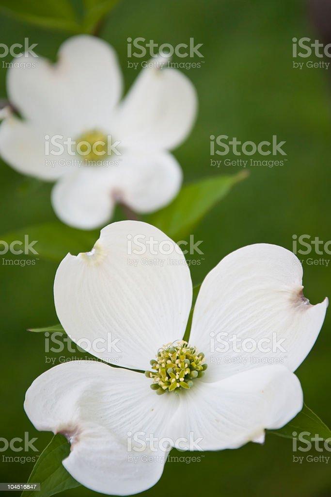 Dreamy White Dogwood Flowers royalty-free stock photo