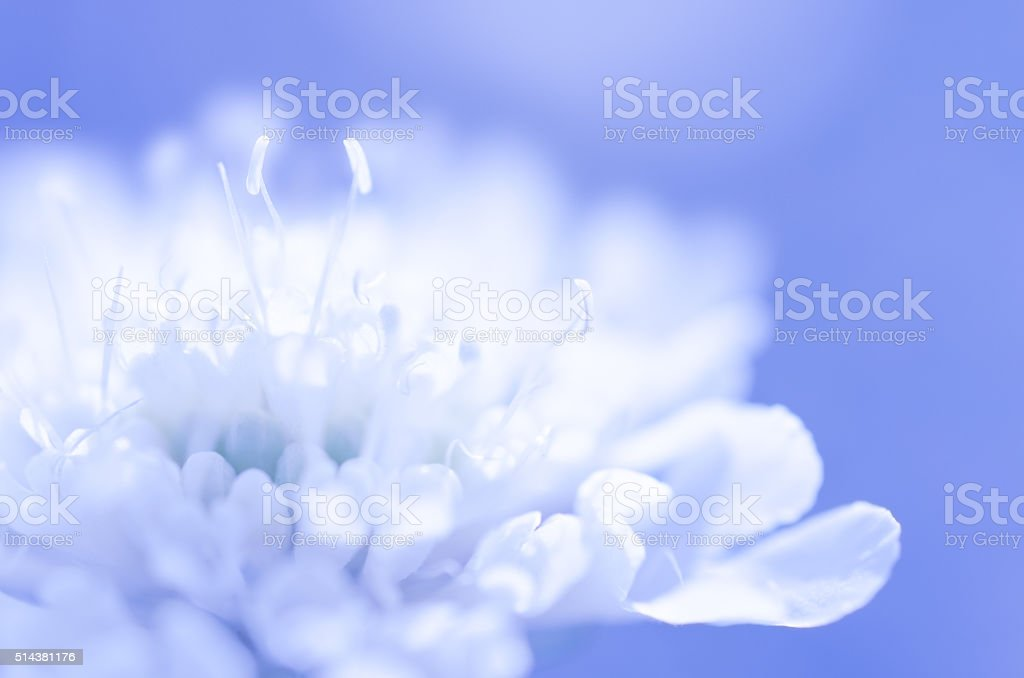 Dreamy white flower on blue background stock photo
