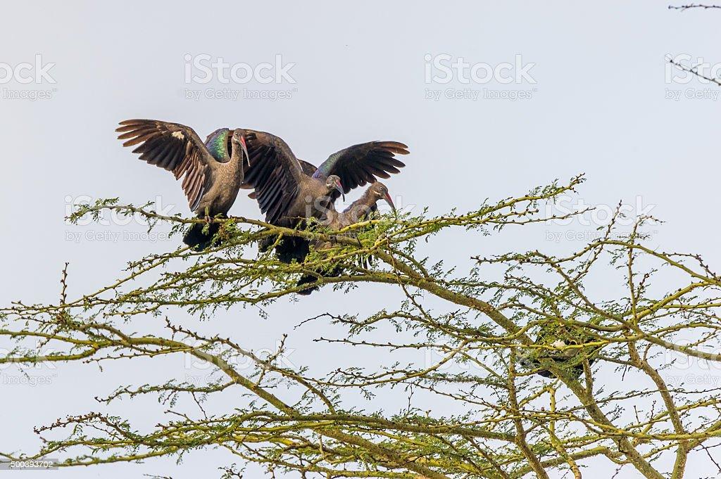 Drei Braune Sichler stock photo