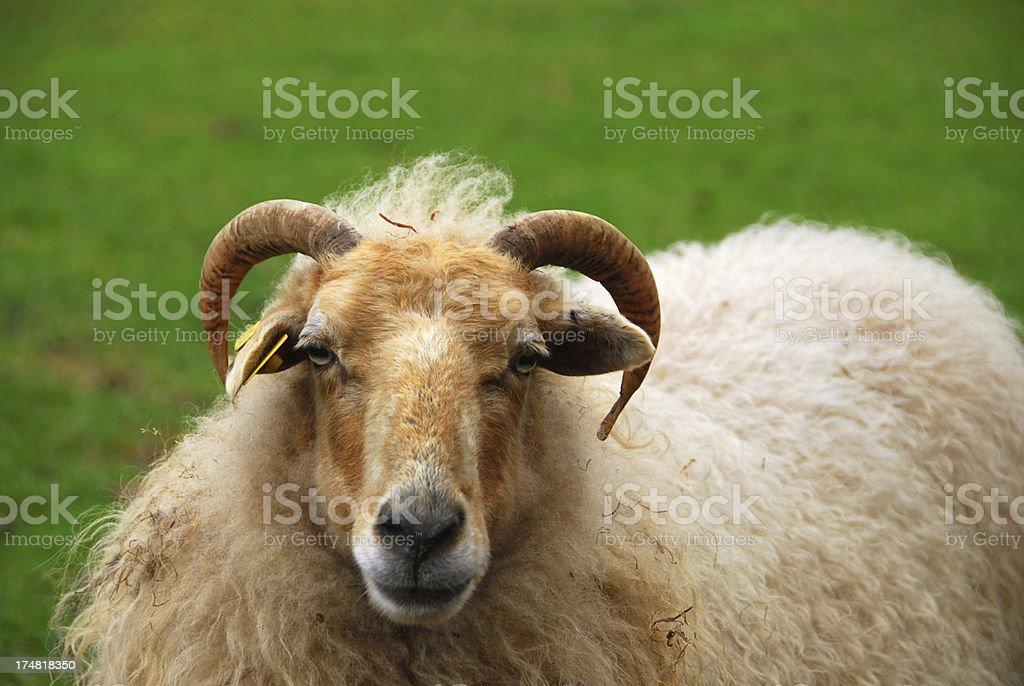 Drents moor sheep portrait royalty-free stock photo