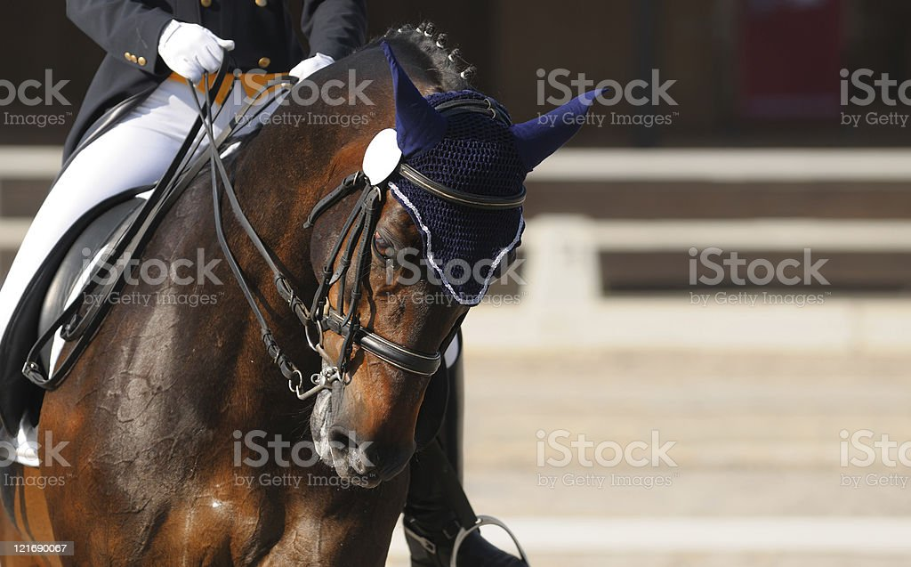 Dressage: portrait of bay horse stock photo