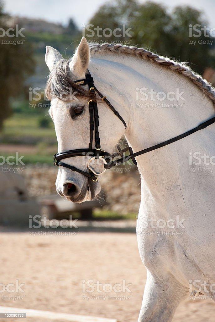Dressage White Horse royalty-free stock photo