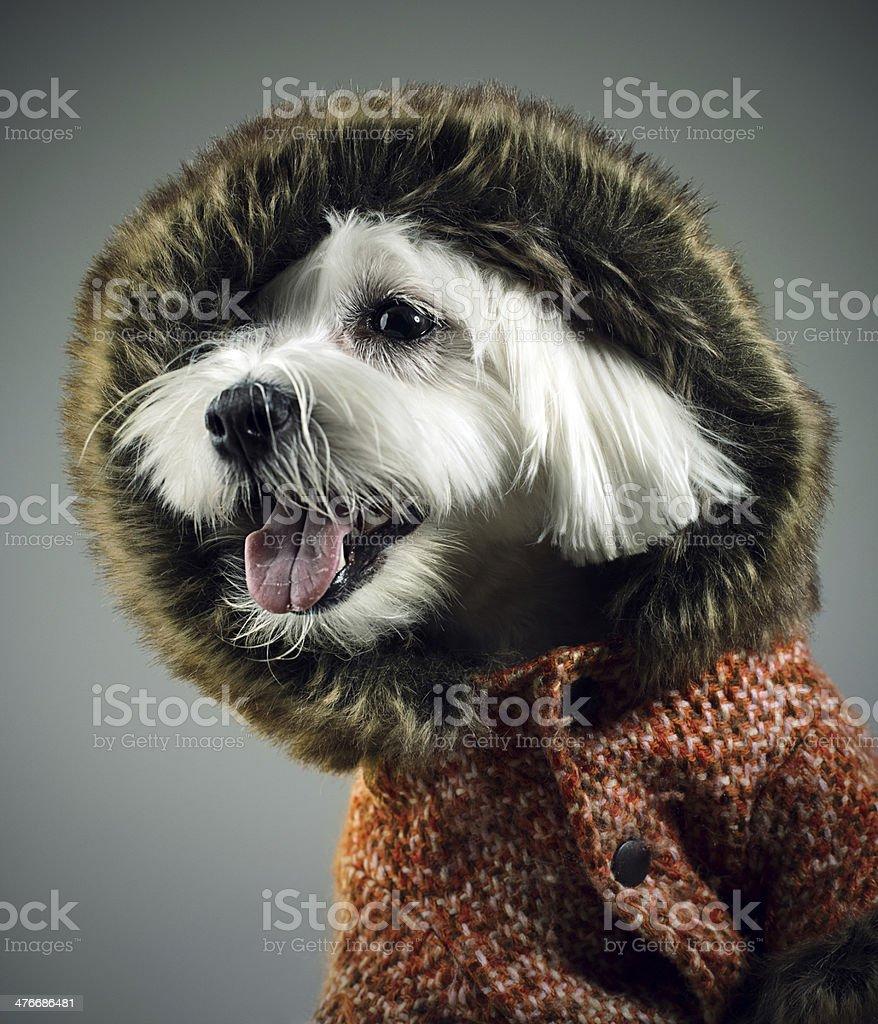 Dressed dog stock photo
