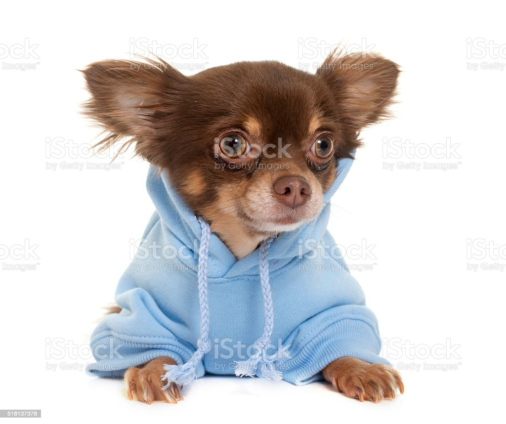 dressed longhair chihuahua stock photo