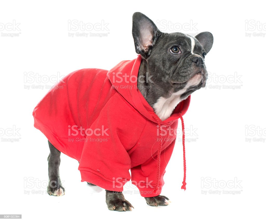dressed puppy french bulldog stock photo