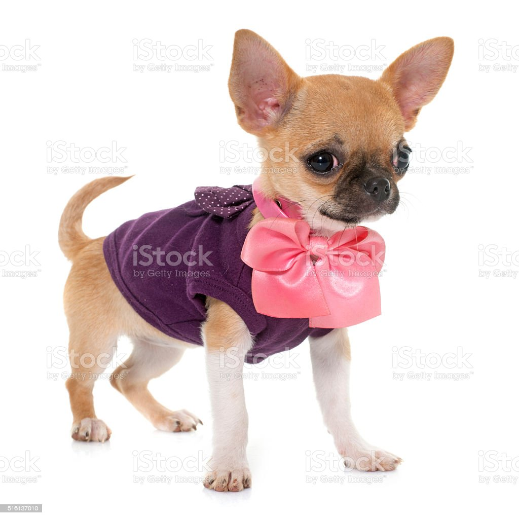 dressed puppy shorthair chihuahua stock photo