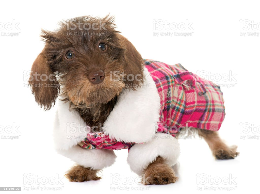 dressed puppy Wire haired dachshund stock photo