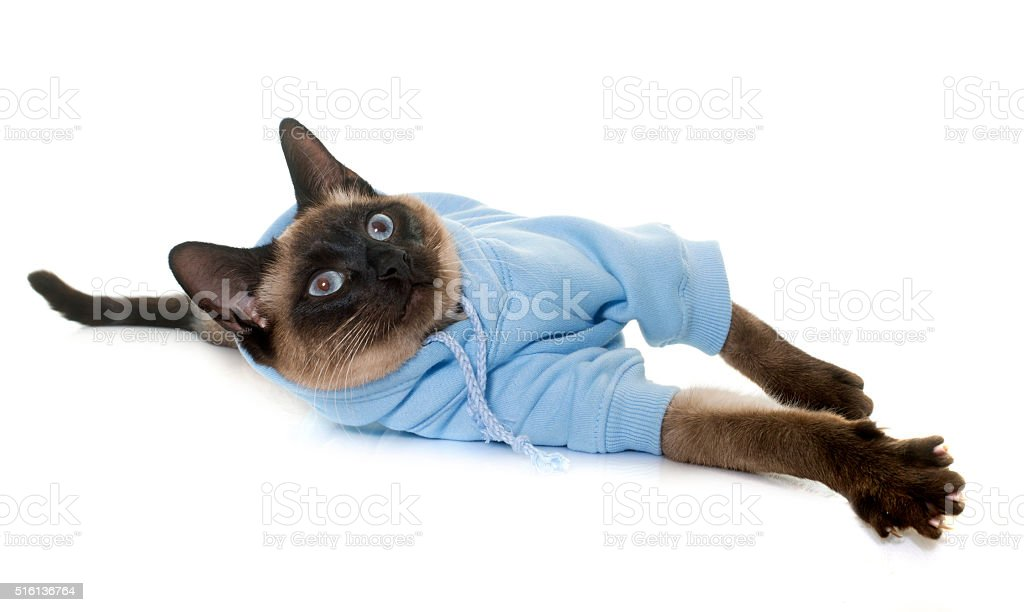 dressed siamese cat stock photo