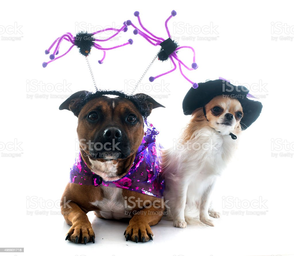 dressed staffordshire bull terrier and chihuahua stock photo