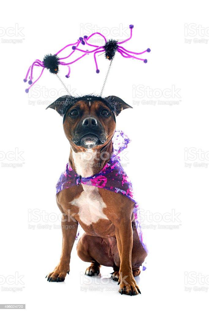 dressed staffordshire bull terrier stock photo