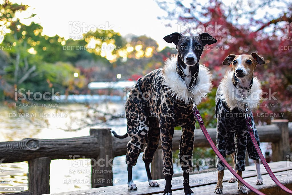 Dressed Up Dogs In the Park stock photo