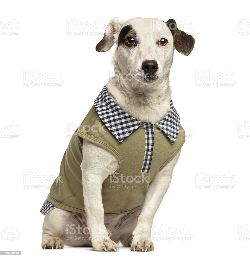 Dressed up Jack Russell Terrier, 2 years old royalty-free stock photo