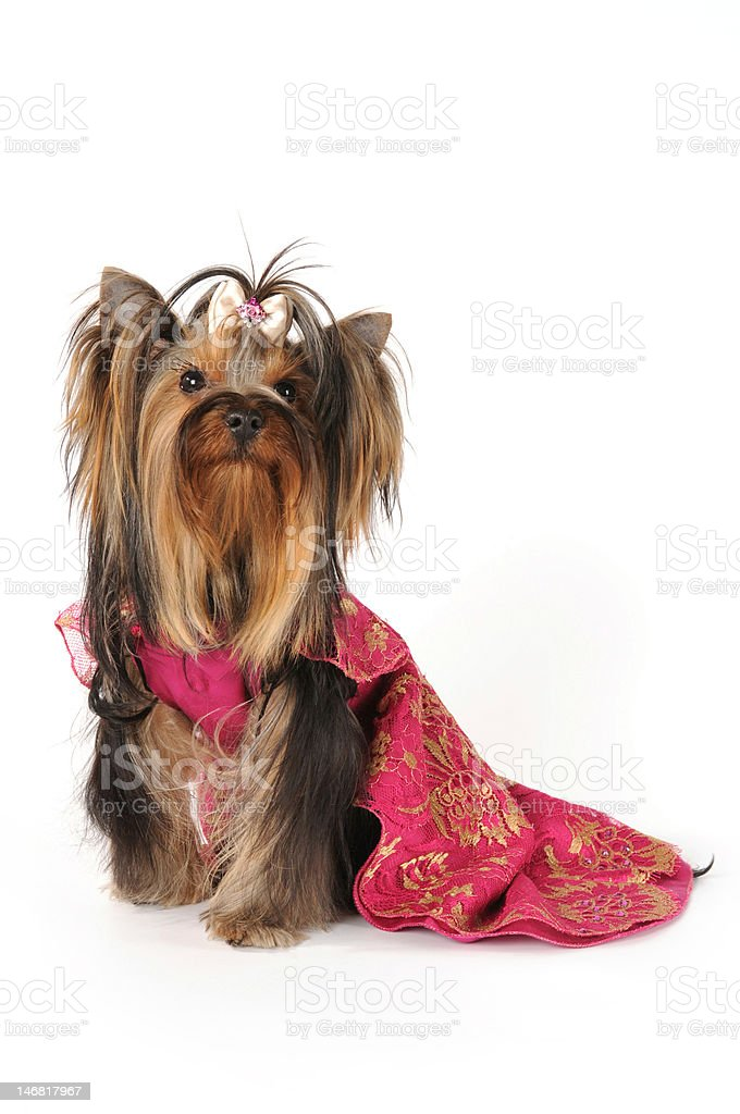 Dressed yorkshire terrier isolated on white royalty-free stock photo