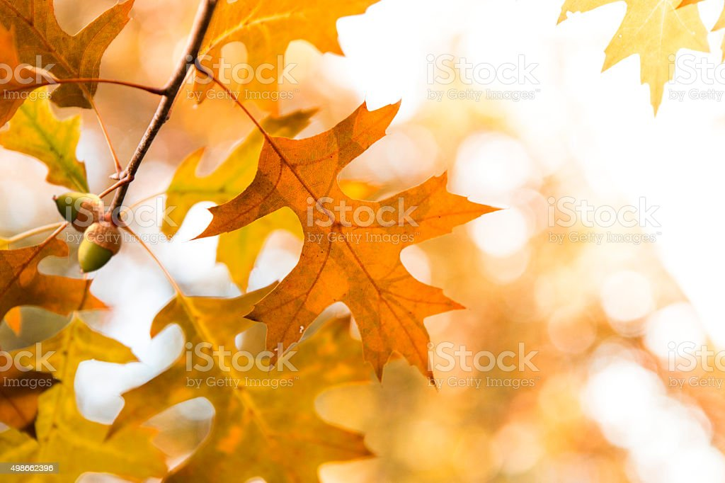 Dried acorns with autumn leaves stock photo