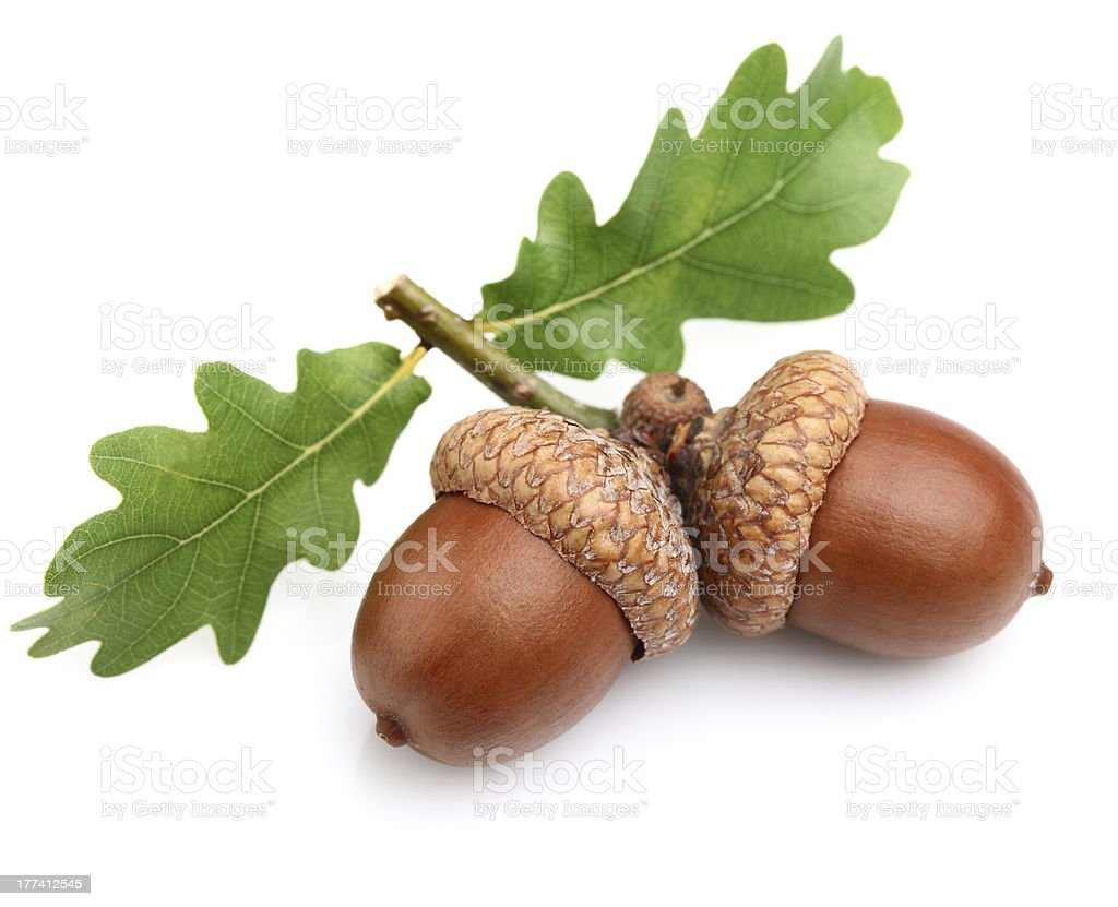 Dried acorns with leaves stock photo