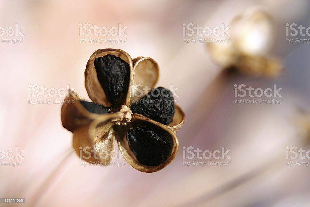dried allium seedhead royalty-free stock photo