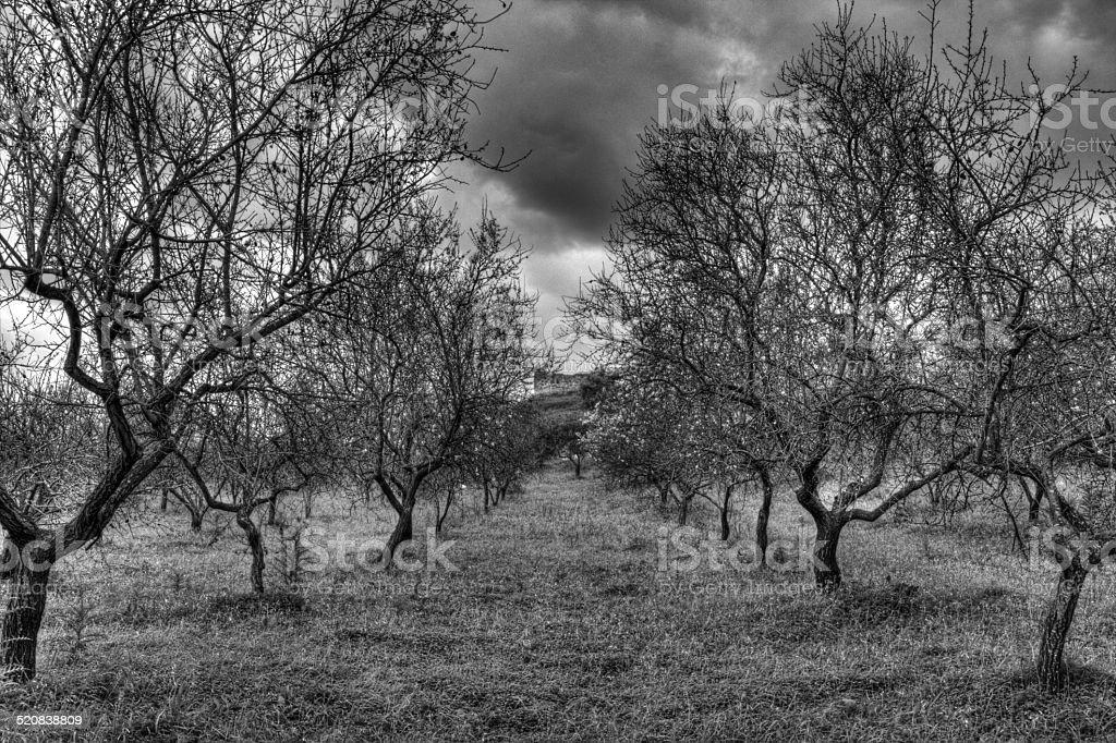 Dried almond grove stock photo