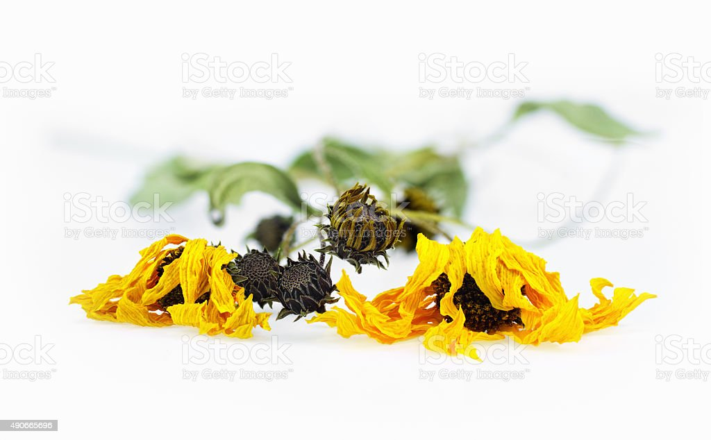 Dried arnica herbs stock photo