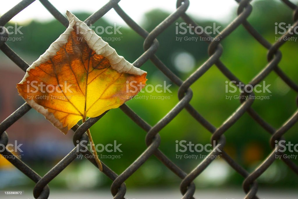 dried autumn leaf caught in chain link fence stock photo