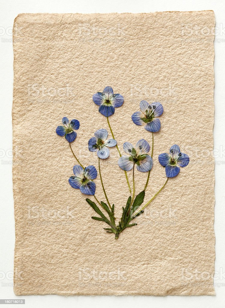 Dried blue flowers royalty-free stock photo